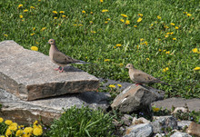 A Pair Of Mourning Doves In A ...