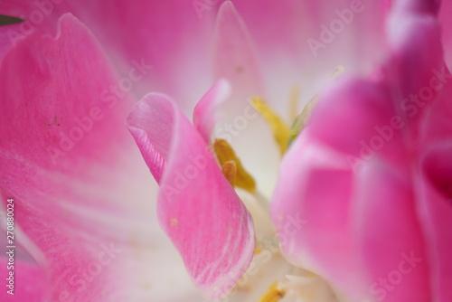 Spoed Fotobehang Roze 美しく咲き誇るチューリップ