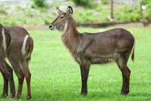 Female Waterbuck Standing In The Grass Land Of Khao Keaw Open Zoo, Thailand