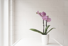 Closeup Of Purple Phalaenopsis Orchid In On White Table Against Painted Brick Wall Background With Copy Space