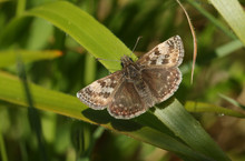 A Pretty Dingy Skipper Butterf...