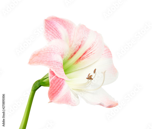 Hippeastrum or Amaryllis flowers ,Pink amaryllis flowers isolated on white backg Wallpaper Mural