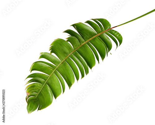 Heliconia chartacea leaves,Tropical leaf, Bird of paradise foliage isolated on white background, with clipping path               Wall mural