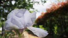 階段のステップにおいてあるバラの鉢植え