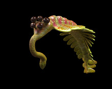 Opabinia Regalis, Prehistoric Aquatic Animal From 505 Million Ago To 487 Million Years Ago Isolated On Black Background (3d Science Rendering)