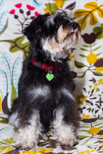 Miniature Schnauzer Cute Young Black And Silver Puppy Portrait Close-up