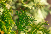 Green Branches On A Conifer Tr...