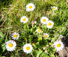 Blooming Daisy, Bellis Perennis In May
