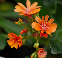 Blooming Lewisia In May, Cliff...