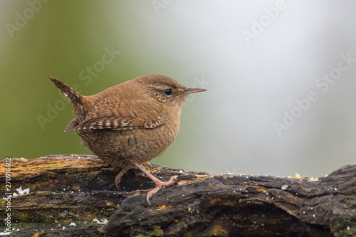 Photo Stands Nature Little wren on a branch