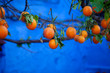 canvas print picture - Oranges on branches of tree
