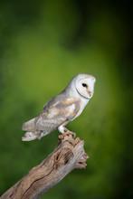 Stunning Portrait Of Snowy Owl...
