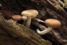 Poplar Mushroom, Velvet Pioppini, Cyclocybe Aegerita