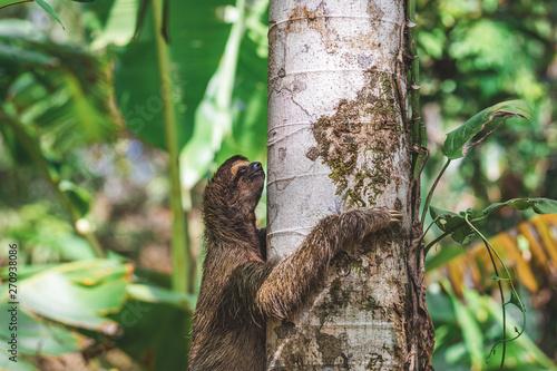 Photo Faultier klettert an baum im Dschungel Panamas