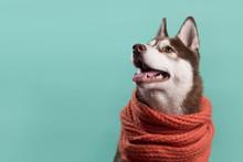 Adorable Siberian Husky Dog Wi...