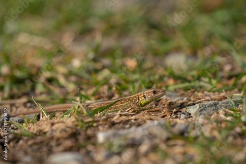 Poster Chamaleon Sand lizard, Lacerta agilis
