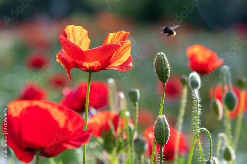 Close-up of blossoming red poppy surrounded by buds - 270950645