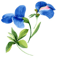 Blue Sweet Pea Floral Botanical Flowers. Watercolor Background Set. Isolated Sweet Pea Illustration Element.