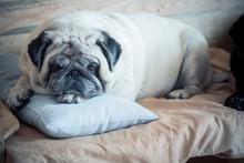 Cute And Adorable Pug Is Sleeping At Home On A Small Bad For A Dog - Pug Bored Indoor Looking At The Camera - White Dog