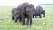 Family of Elephants With Baby Eat Grass With Egrets Around.