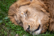 The Head Of A Sleeping Lion