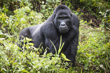 Mountain Gorilla Stands In Ric...