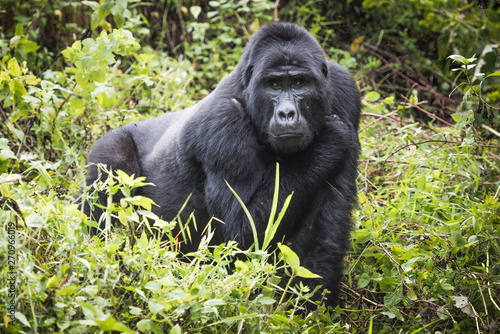Mountain gorilla stands in rich vegetation and looks towards camera in Bwindi Im Canvas Print
