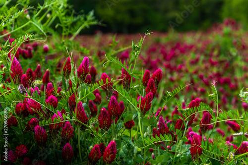 Photo Field of flowering crimson clovers (Trifolium incarnatum) Rural landscape