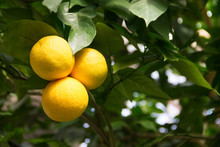 Photo Of Grapefruit Tree In Botanical Garden