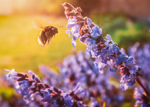 Blue Flowers From A Growing Sage Herb Plant Attract At Flying Bumble Bee In A Garden Or Back Yard During A Golden Sunset On A Spring Evening.