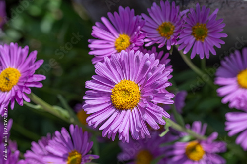 Top view of light violet flower head of china aster Canvas Print