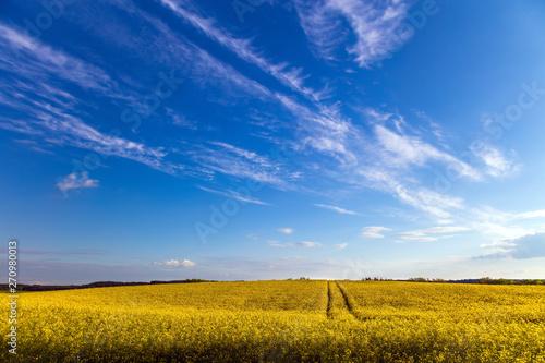 Fototapeta Rzepakowe Łany Pod Błękitnym Niebem obraz