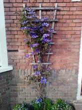 Purple Flowers On Trellis