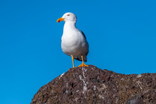Adult Yellow-footed Gull (Laru...