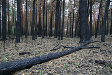 Forest After Fire Broken Burnt...