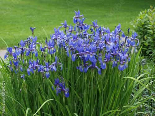 Poster Iris Iris sibirica