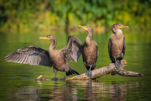 Three Juvenile Double-crested ...