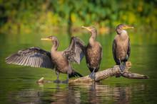 Three Juvenile Double-crested Cormorants