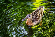 Birds And Animals In Wildlife. Amazing Mallard Duck Swims In Lake Or River With Blue Water Under Sunlight Landscape.Duck Swimming In Lake.