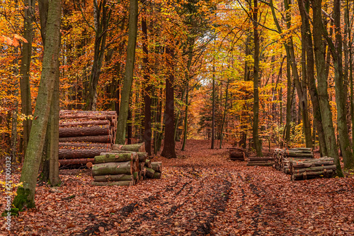 Photo sur Aluminium Akt Amazing gold forest in the fall, Europe