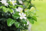 Gerdenia Crape Jasmine with green grass background
