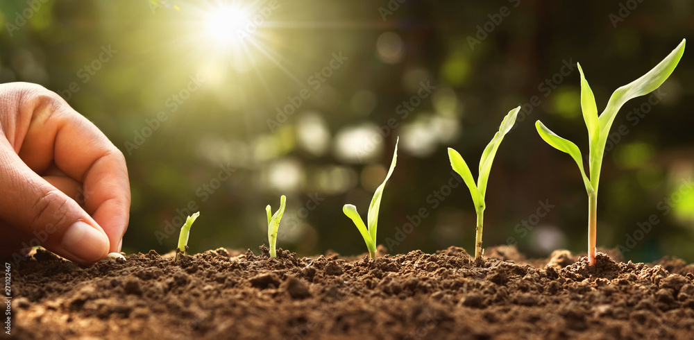 Fototapeta hand planting corn seed of marrow in the vegetable garden with sunshine