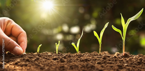 Spoed Fotobehang Tuin hand planting corn seed of marrow in the vegetable garden with sunshine