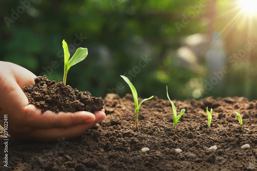 Photo hand holding young corn for planting in garden with sunrise background