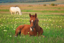 Young Horse On The Green Meadow.