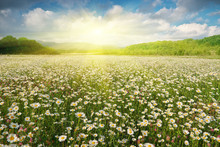 Beautiful Camomile Meadow In Mountain At Sunset