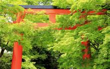 京都神社の青紅葉の中...