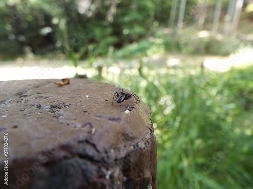 Fototapeta アリグモ spider like an ant