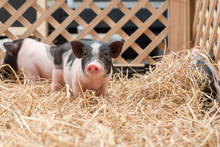 Cute Baby Pink And Black Speckled Polka Dot Pot-bellied Vietnam Miniature Pigs In Wooden Cage At Animal Farm