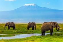 African Elephants At Mount Kilimanjaro